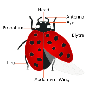 Body part names of the ladybird