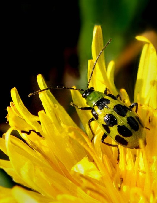 Cucumber Beetle, basking in the sun, photographed by Jack Wolf.  Thank you for the use of your photo.