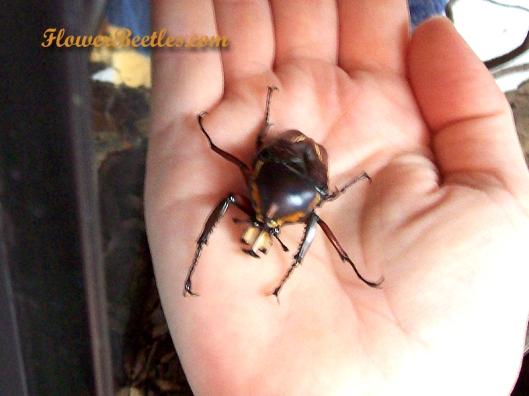Big baby - Dicronorhina derbyana layardi