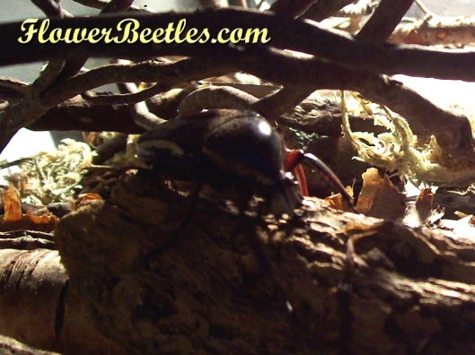 Beetle Dickster