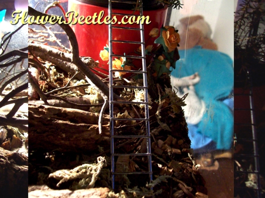 The beetles like climbing this 'mouse' ladder!