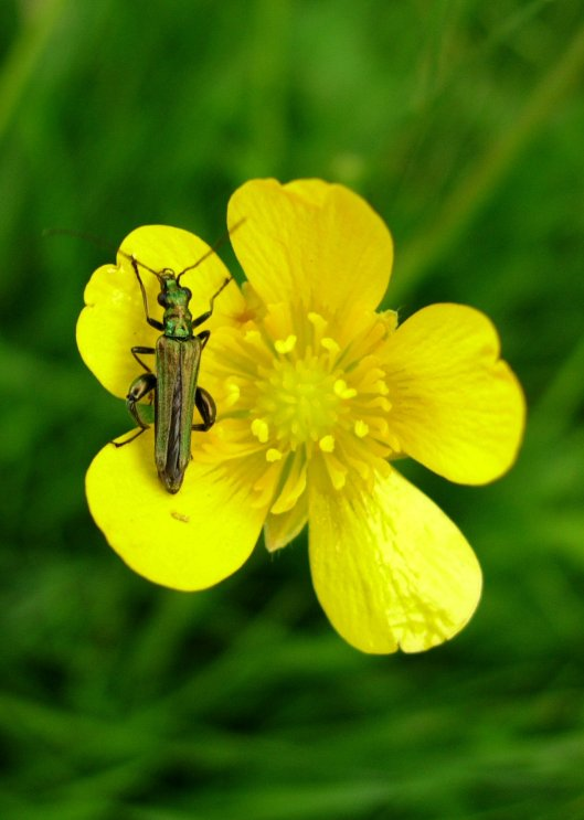 A British flower beetle photographed by Lofaesofa - thank you for the use of your photo!