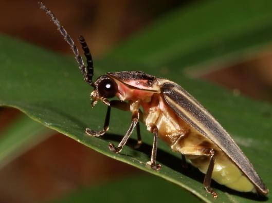 Cockscomb firefly