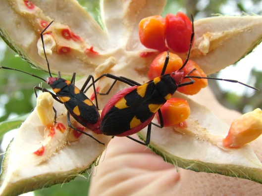 Assassin Bugs - Thank you Petr www.Flower-Beetles.com