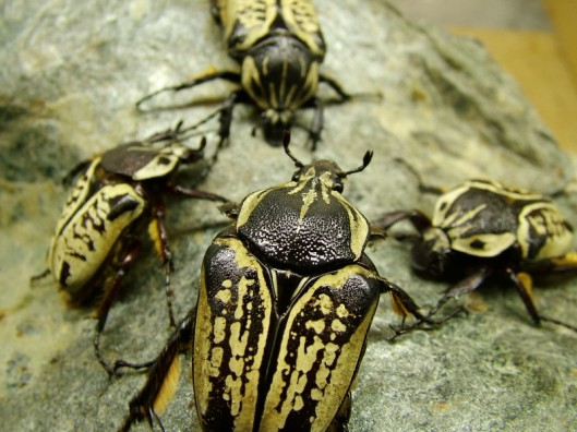 The largest flower beetle in the world: Goliathus.  Photographed by Petr