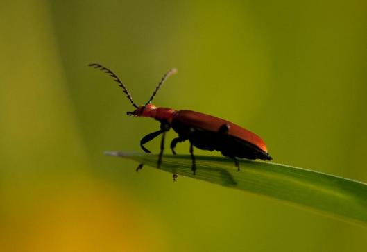 Red Cardinal Beetle photographed by KeithN
